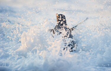 Fiordland crested penguin (Eudyptes pachyrhynchus) being splashed by foam from surf, Westland, New Zealand, Vulnerable species. November.