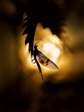 Common mayfly (Ephemera danica) against setting sun, Wales, UK.