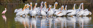 American white pelicans (Pelecanus erythrorhynchos) wintering, engaging in mass preening, with a Roseate spoonbill (Platalea ajaja) and American avocets (Recurvirostra americana), Riparian Preserve, G...