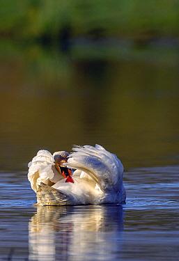 Mute swan (Cygnus olor) preening at water surface, near Turf Locks, Exeter Canal, Devon, UK. March.