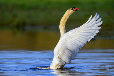 Mute swan (Cygnus olor) stretching at water surface, near Turf Locks, Exeter Canal, Devon, UK. March.