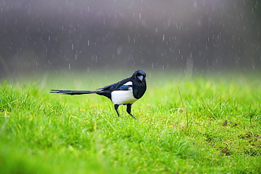 Magpie (Pica pica) standing in the rain, Wychbold, Worcestershire, UK. February.