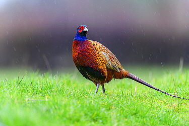 Pheasant (Phasianus colchicus) male, standing in the rain, Wychbold, Worcesterhire, UK. February.