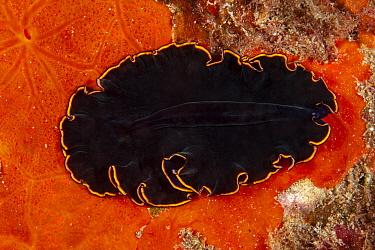 Black flatworm (Pseudobiceros splendidus) on encrusting sponge, Ponza island, Italy, Tyrrhenian Sea, Mediterranean.