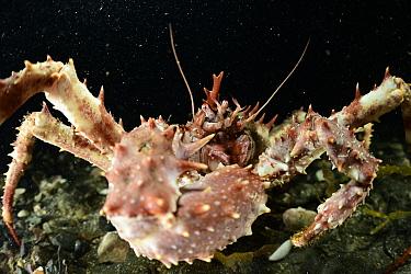 Northern stone crab (Lithodes maja), Trondheimsfjord, Norway, December.