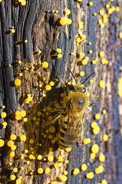 Ivy bee (Colletes hederae) sunning on a log with many Lemon disco (Bisporella citrina) fungi fruiting, GWT Lower Woods reserve, Gloucestershire, UK, October.