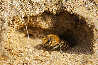Hairy-saddled Colletes bee (Colletes fodiens) emerging from its nest burrow in a sandy bank, Merthyr Mawr National Nature Reserve, Glamorgan, Wales, UK, September.