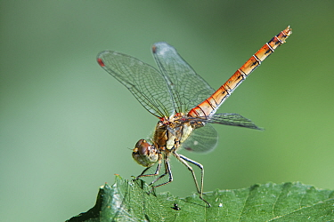 Common darter dragonfly (Sympetrum striolatum) male sun basking in the obelisk position on a leaf with its tail pointing to the sun to minimise heat exposure, Catcott Lows National Nature Reserve, Som...