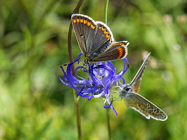 Brown argus (Aricia agestis) male and female nectaring on a Round-headed rampion (Phyteuma orbiculare) flower on a chalk grassland down, near Calne, Wiltshire, UK, July.