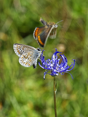 Brown argus (Aricia agestis) male courting a female by flying around a female as she nectars on a Round-headed rampion (Phyteuma orbiculare) flower on a chalk grassland down, near Calne, Wiltshire, UK...