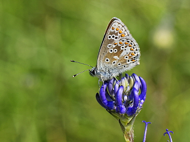Brown argus butterfly (Aricia agestis) nectaring on a Round-headed rampion (Phyteuma orbiculare) flower on a chalk grassland down, near Calne, Wiltshire, UK, July.