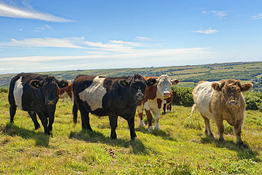 Belted Galloway cattle (Bos taurus) bullocks grazing chalk grassland to keep scrub and woodland at bay, Ballard Down, Corfe Castle, Dorset, UK, August.