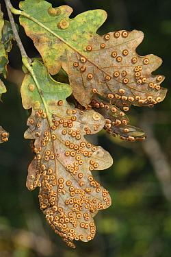 Common spangle galls (Neuroterus quercusbaccarum) and Silk Button spangle Galls / Oak spangle galls (Neuroterus numismalis) on Pedunculate / English oak (Quercus robur) leaves, GWT Lower Woods reserve...