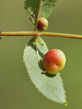 Smooth rose pea gall caused by a Cynipid gall wasp (Diplolepis nervosa or Diplolepis eglanteriae) on Dog rose (Rosa canina) stem in a chalk grassland meadow, Wiltshire, UK, September.