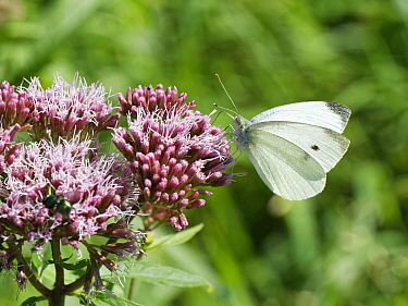 Small white butterfly (Pieris rapae) nectaring on Hemp agrimony (Eupatorium cannabinum) flowers in a woodland ride, Catcott Lows National Nature Reserve, Somerset, UK, September.