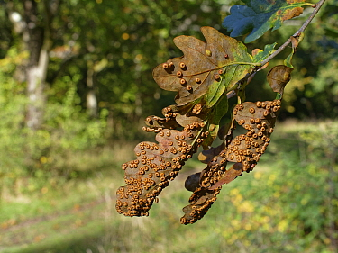 Silk Button spangle Galls / Oak spangle galls (Neuroterus numismalis) on Pedunculate / English oak (Quercus robur) leaves, GWT Lower Woods reserve, Gloucestershire, UK, October.
