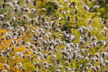 Pink footed geese (Anser brachyrhynchus) flock taking flight, near Udale Bay, Black Isle, Scotland, UK, October.