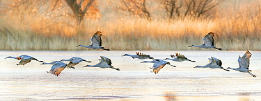 Sandhill cranes (Grus canadensis) taking off from icy water surface at dawn. Bosque del Apache National Wildlife Refuge, New Mexico, USA. December.