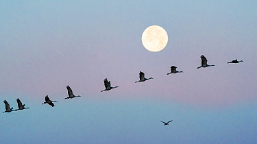 Sandhill cranes (Grus canadensis) flock flying in front of the moon at dawn, Whitewater Draw Wildlife Area, Southeastern Arizona, USA. December.
