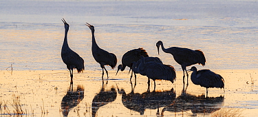 Sandhill cranes (Grus canadensis) group of six, silhouetted, calling in icy pond waters. Bosque del Apache, National Wildlife Refuge, New Mexico, USA. December.