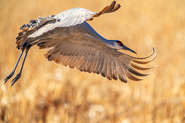 Sandhill crane (Grus canadensis) in flight, about to land, Bosque del Apache National Wildlife Refuge, New Mexico, USA. December.