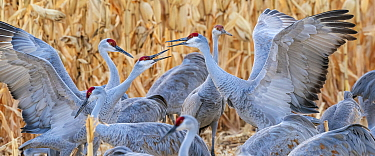 Sandhill cranes (Grus canadensis) flock with territorial fighting. Bosque del Apache National Wildlife Refuge, New Mexico, USA. December.