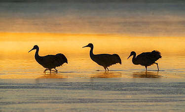 Sandhill cranes (Grus canadensis) wading in water at sunrise. Bosque del Apache National Wildlife Refuge, New Mexico.