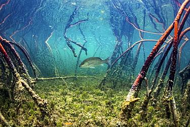 Grey snapper fish (Lutjanus griseus) hunting Silversides (Atherinomorus lacunosus) among red mangrove (Rhizophora mangle) roots, Eleuthera, Bahamas.
