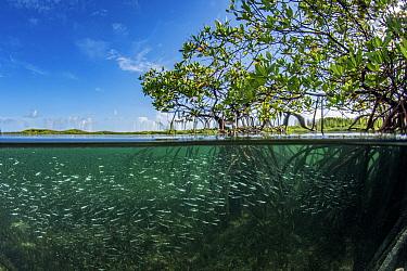 Red mangrove (Rhizophora mangle) habitat with shoal of Silversides (Atherinomorus lacunosus), Eleuthera, Bahamas.