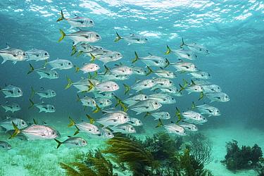 School of Horse-eye jack (Caranx latus) swim along a coral reef, Bahamas.