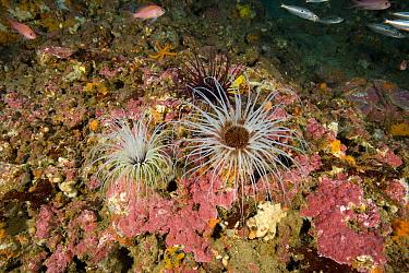 Tube anemone (Cerianthus membranaceus) Punta Campanella Marine Protected Area, Amalfi Coast, Italy, Tyrrhenian Sea, Mediterranean.