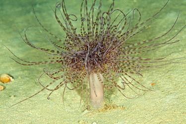 Tube anemone (Cerianthus membranaceus) Mitigliano Cave, Punta Campanella Marine Protected Area, Amalfi Coast, Italy, Tyrrhenian Sea, Mediterranean.