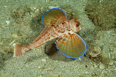 Tub gurnard (Chelidonichthys lucerna) Puolo Bay, Punta Campanella Marine Protected Area, Amalfi Coast, Italy, Tyrrhenian Sea, Mediterranean.