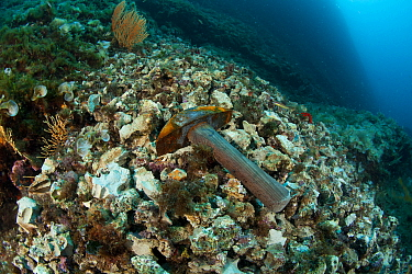 Hammer discarded after being used to break the rock illegally to collect Date shells (Lithophaga lithophaga) Vervece Rock, Punta Campanella Marine Protected Area, Amalfi Coast, Italy, Tyrrhenian Sea,...