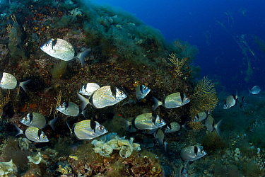 Shoal of White seabream (Diplodus sargus), Vervece Rock, Punta Campanella Marine Protected Area, Costa Amalfitana, Italy, Tyrrhenian Sea, Mediterranean.