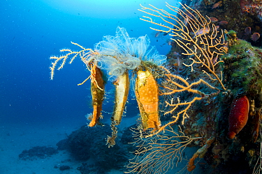 Catshark eggcases (Scyliorhinus sp.) on Yellow gorgonian, (Eunicella cavolini) Punta Campanella Marine Protected Area, Costa Amalfitana, Italy, Tyrrhenian Sea, Mediterranean.