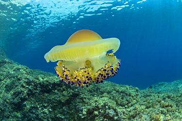 Mediterranean jelly or fried egg jellyfish (Cotylorhiza tubercolata) Massa Lubrense, Punta Campanella Marine Protected Area, Costa Amalfitana, Italy, Tyrrhenian Sea, Mediterranean.
