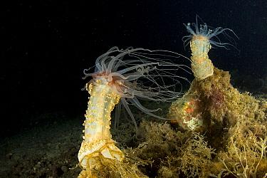 Alicia sea anemones (Alicia mirabilis) Massa Lubrense, Puolo Bay, Punta Campanella Marine Protected Area, Costa Amalfitan, Italy, Tyrrhenian Sea, Mediterranean.
