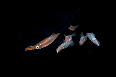 Squid (Loligo vulgaris) Puolo Bay, Punta Campanella Marine Protected Area, Costa Amalfitana, Italy, Tyrrhenian Sea, Mediterranean.