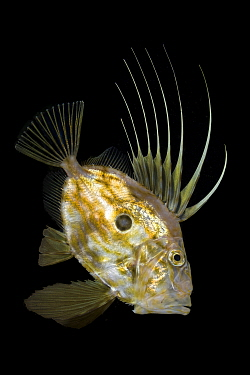 John dory (Zeus faber) Punta Campanella Marine Protected Area, Costa Amalfitana, Italy, Tyrrhenian Sea, Mediterranean.