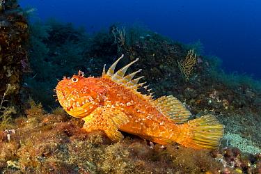 Great rockfish (Scorpaena scrofa) Vervece Rock, Punta Campanella Marine Protected Area, Costa Amalfitana, Italy, Tyrrhenian Sea, Mediterranean.