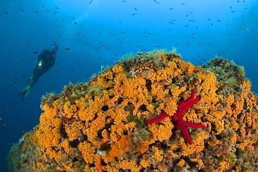 Scuba diver and rock covered with Coral (Parazoanthus axinellae) Punta Campanella Marine Protected Area, Costa Amalfitana, Italy, Tyrrhenian Sea, Mediterranean.