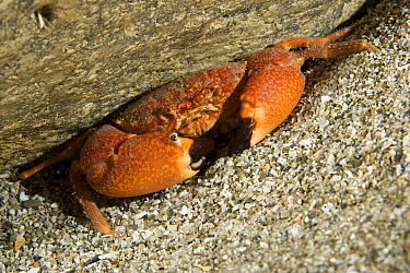 Round crab (Euryozius sp.), Punta Campanella Marine Protected Area, Costa Amalfitana, Italy, Tyrrhenian Sea, Mediterranean.