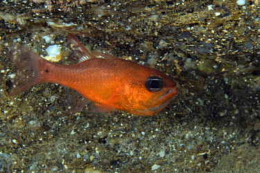 Cardinal fish (Apogon imberbis) Punta Campanella Marine Protected Area, Costa Amalfitana, Italy, Tyrrhenian Sea, Mediterranean.