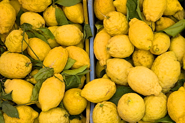 Lemons for sale at market, Penisola Sorrentina, Costa Amalfitana, Italy,