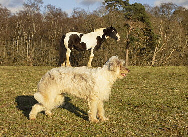 Forced perspective photo of a horse appearing to stand on a dog's back, UK.