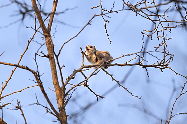 Japanese dwarf flying squirrel (Pteromys volans orii) feeding on leaf buds of a Japanese elm (Ulmus davidiana var. japonica) during winter, Hokkaido, Japan.