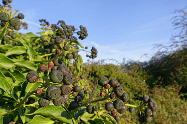 Ivy (Hedera helix) berry clusters ripening in a Wiltshire hedgerow, UK, December.