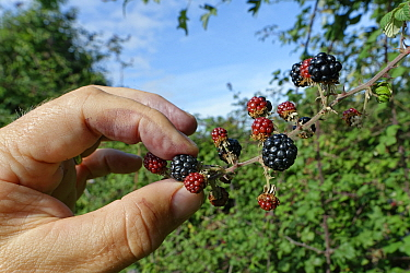 Blackberry (Rubus fruticosus) ripe fruit being picked from a bush in a hedgerow, Wiltshire, UK, September. Model released.