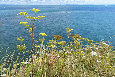 Wild Parsnip (Pastinaca sativa) with yellow flowers and Wild carrot (Daucus carota) with white flowers growing on chalk cliff top grassland, Studland, Dorset, UK, August.